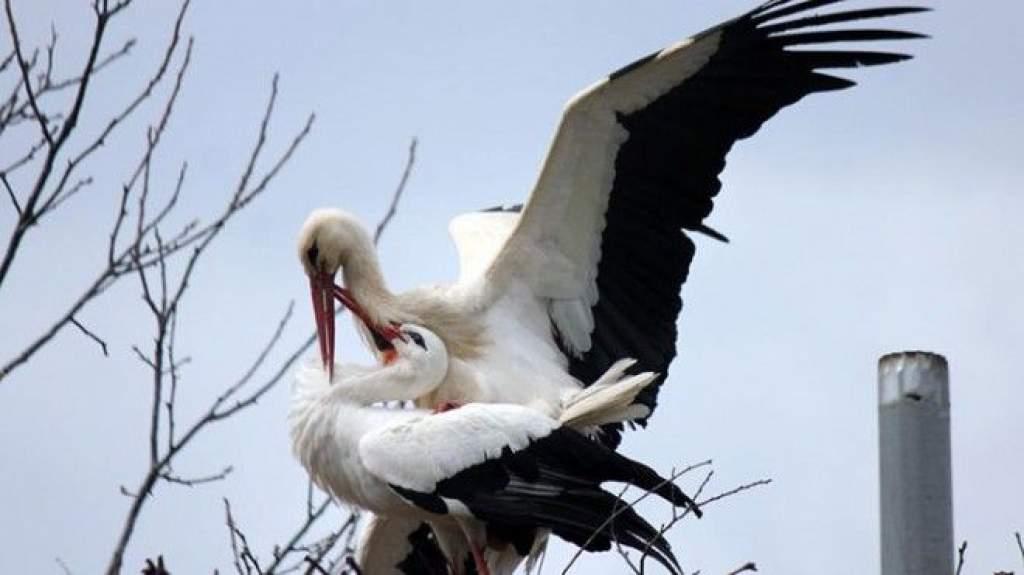 15 éve minden tavasszal 13 ezer kilométert repül a gólya, hogy viszontláthassa párját