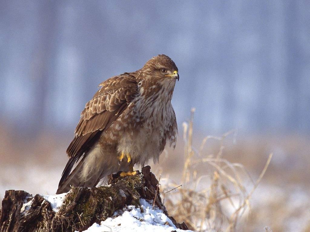 2012: az egerészölyv védelmének éve