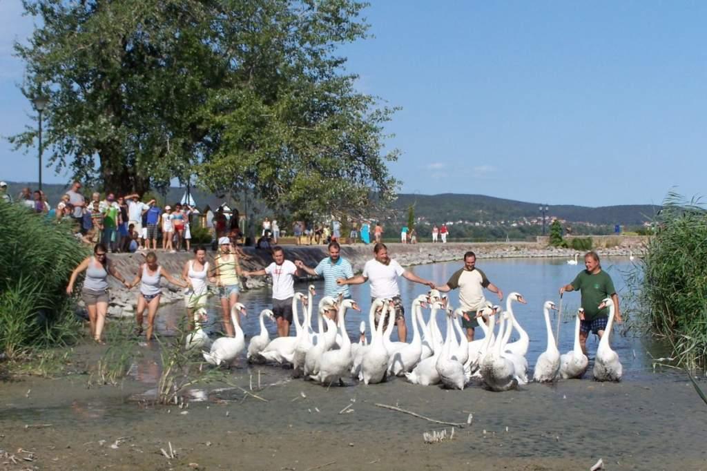 59 madárra került gyűrű a II. Hattyú Road Show-n