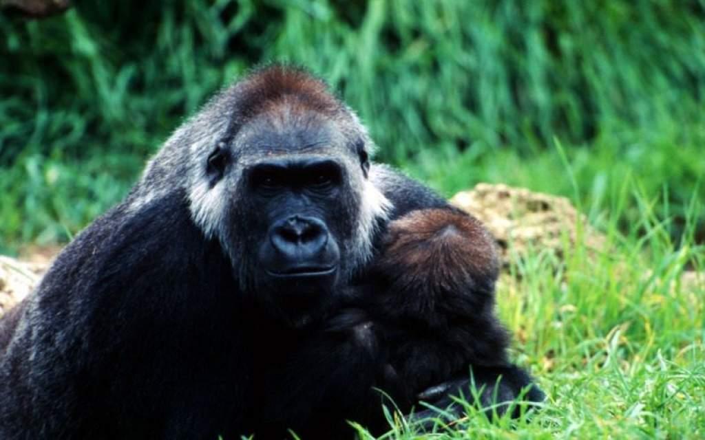 Remény a hegyi gorilláknak