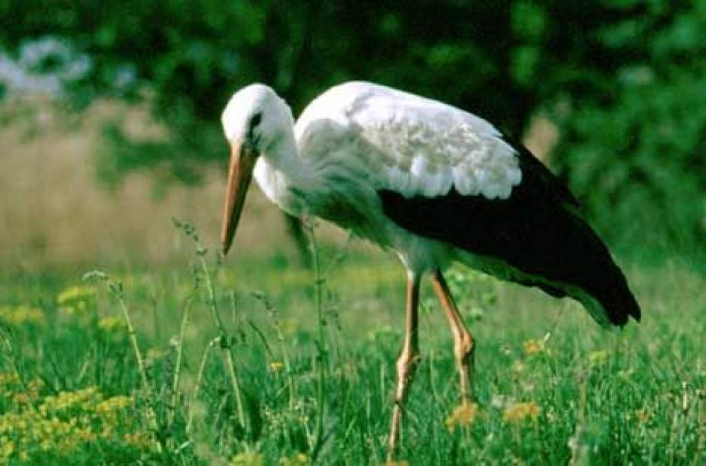Élőben követjük a hazatérő fehér gólyáinkat